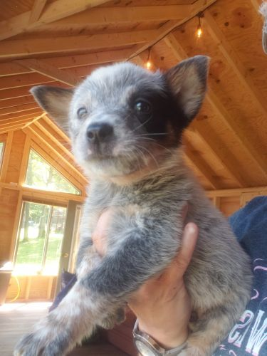 AUSTRALIAN CATTLE DOG PUPPIES/BLUE HEELERS