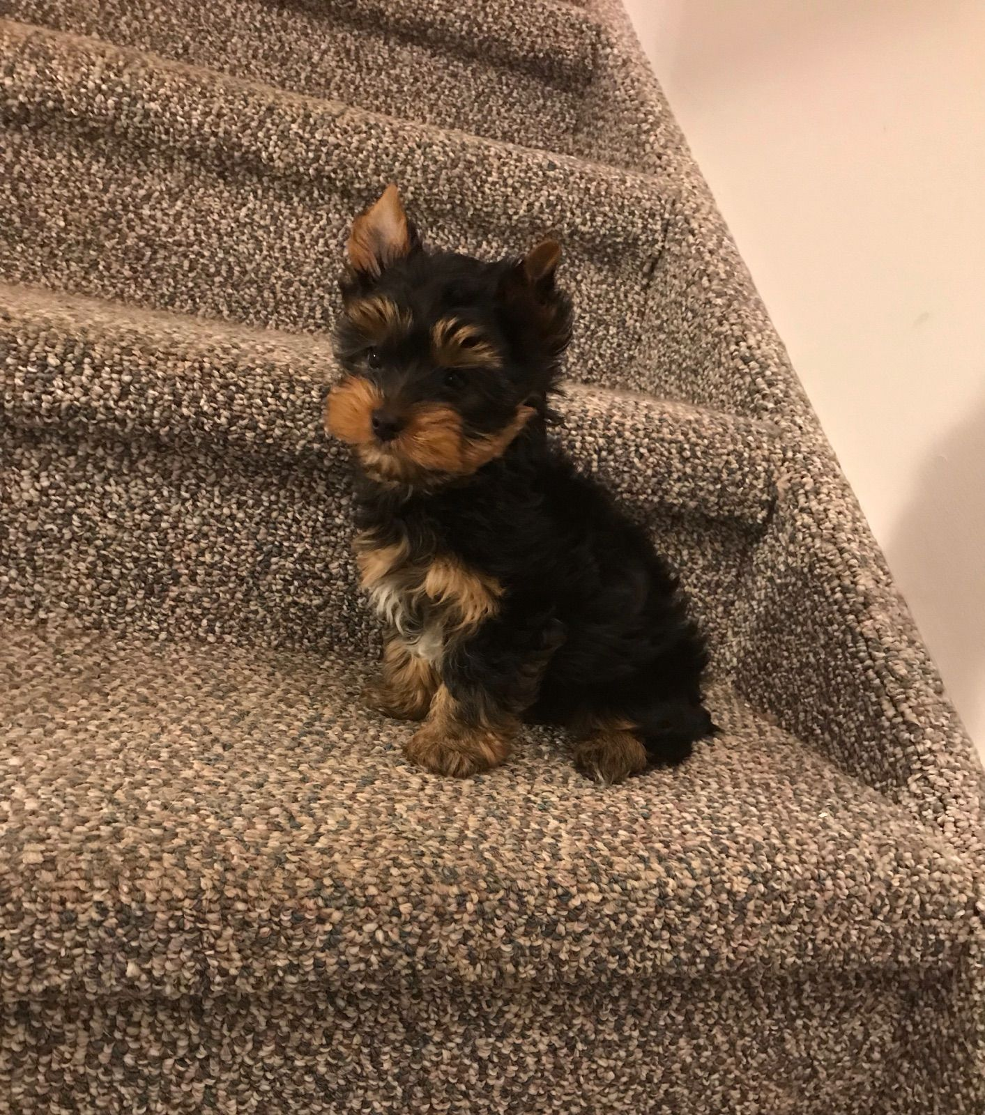 Yorkie Puppies For Sale Pets Animals Paper Shop Free