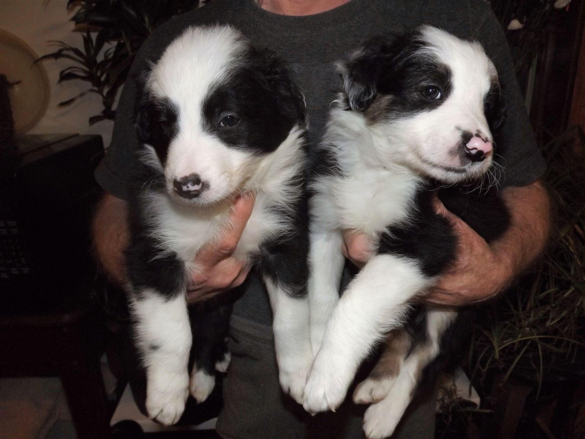 Border Collie Puppies For Sale Pets Animals Paper Shop